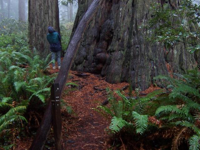 Redwood-national-park-Sequoia.250ft